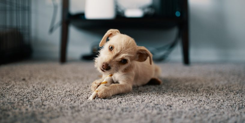 Puppy laying on a carpet