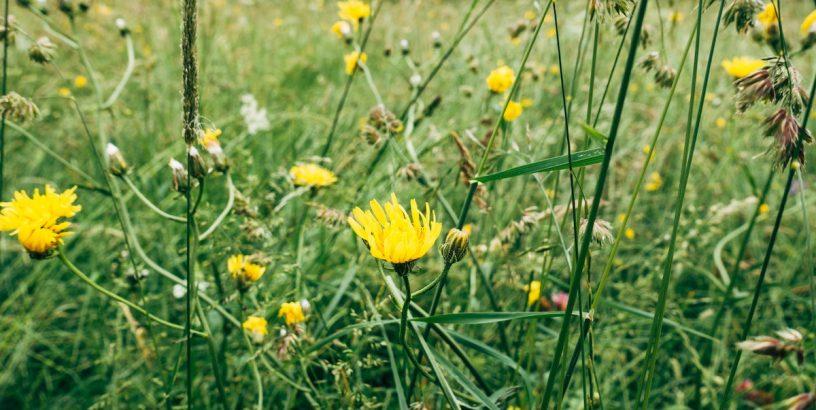 yellow wildflowers, grass