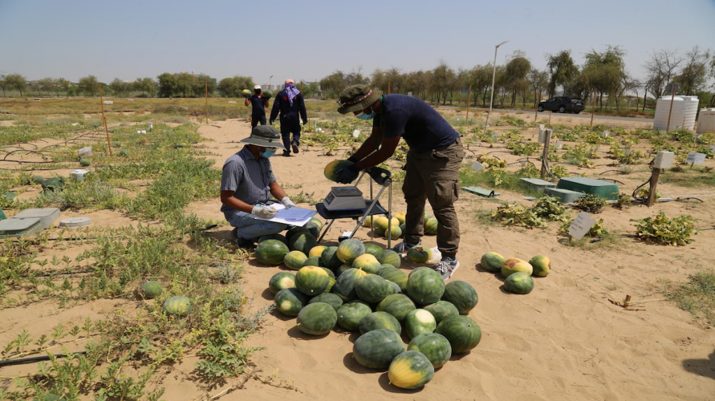 Watermelons being harvested in desert