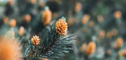 fir tree with needles